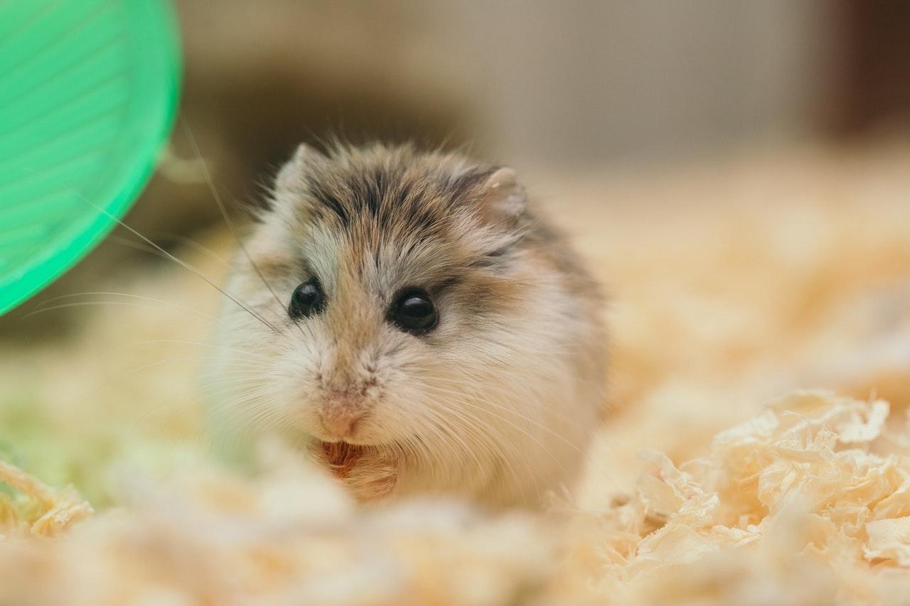 Sødt lille hamster spiser i sit bur